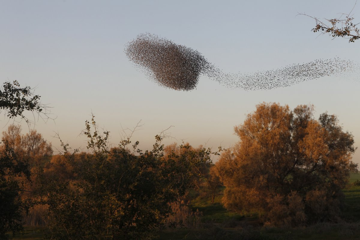 starlings-and-they-dont-seem-to-mind-mixing-it-up-in-fact-starlings-are-famous-for-their-gregarious-nature-you-can-find-multiple-different-species-within-the-same-murmuration