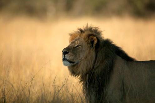 Regal King Cecil / Photo Credit: Brent Stapelkamp