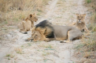 Cecil and cubs / Photo Credit: Brent Stapelkamp