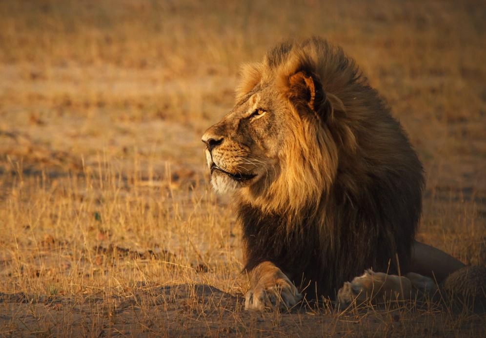 Cecil - The King of Hwange / Photo Credit: Ed Hetherington
