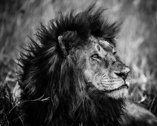 Lion Dreaming / Photo Credit: Laurent Baheux
