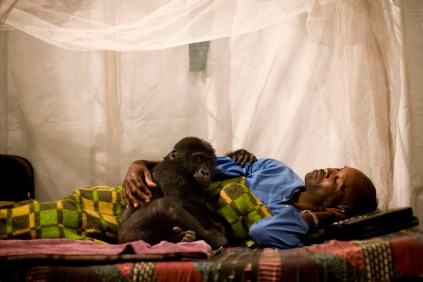 Orphan Gorilla Mapendo – Photo: Brent Stirton