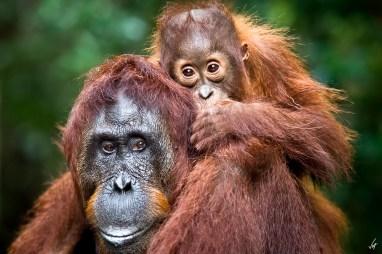 The look of the wild Borneo Orangutan by Ferran Vega