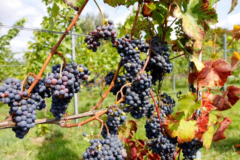 Deze druiven worden binnenkort geoogst.
