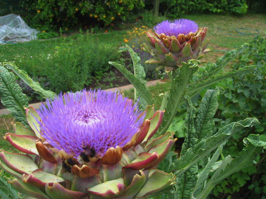 Mature artichoke flowers. They are about 70mm wide.