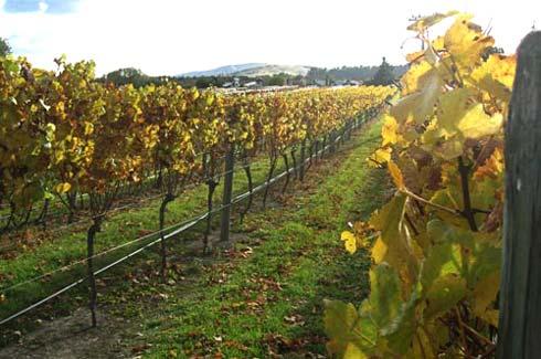 Margrain Vineyard, with the Margrain Vineyard villas in the background.
