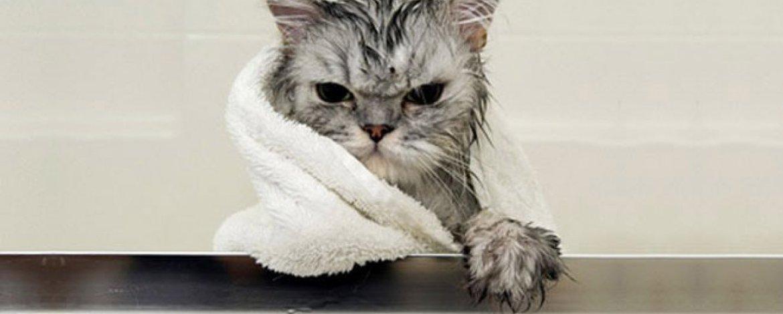 ✔ Cara mandikan kucing
