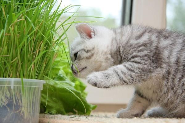 Kenapa kucing Makan Rumput