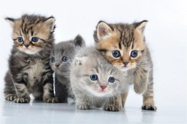 Kepentingan Susu Kepada Anak Kucing