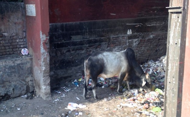 what is this cow eating?
