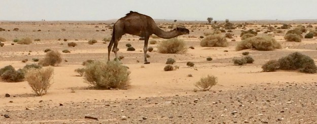 What does a camel find to eat?
