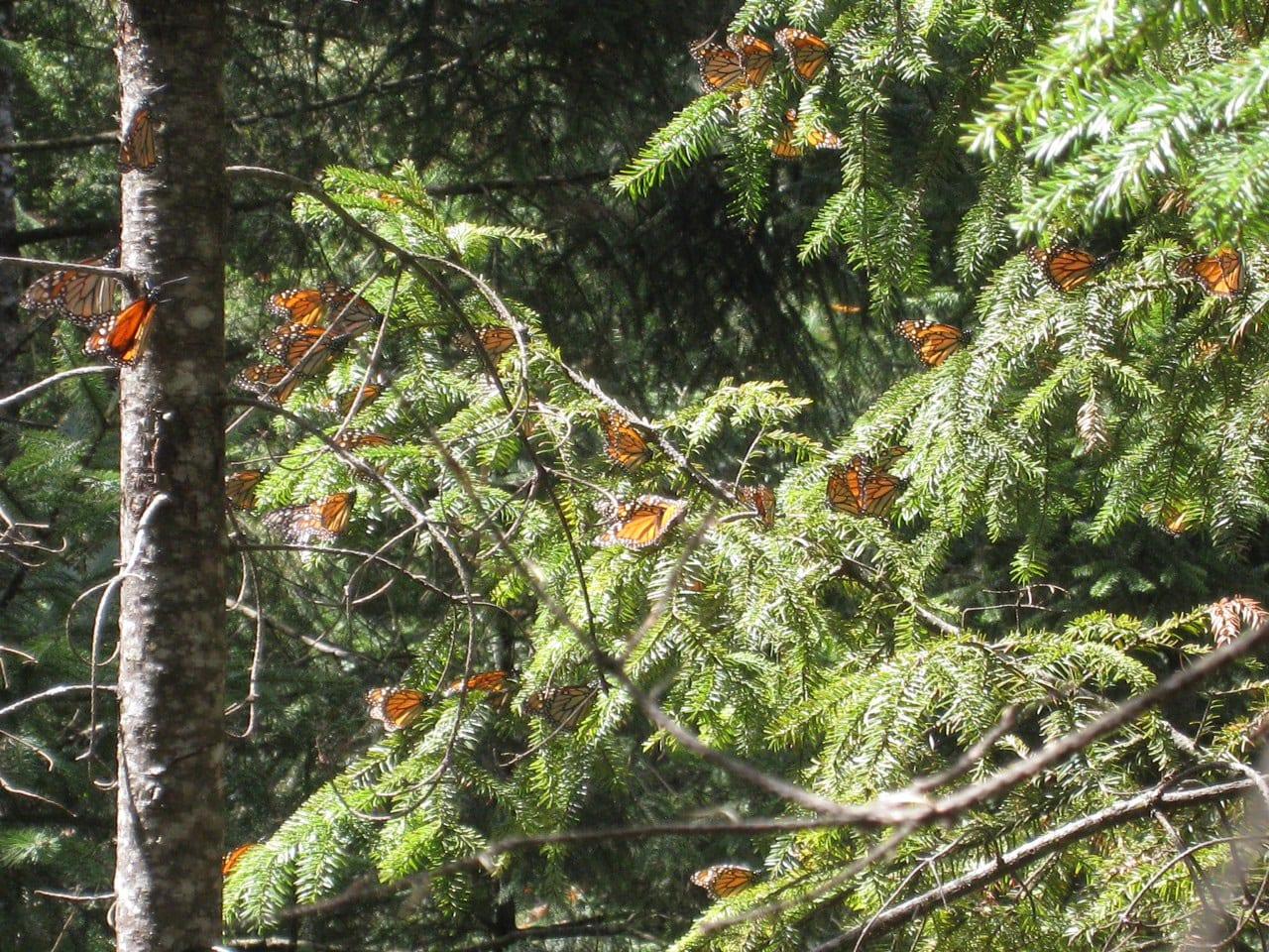 04 Butterflies Tree Wendy