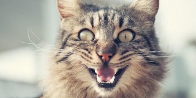 原生種難逃野貓魔爪 澳洲政府擬殺200萬野貓