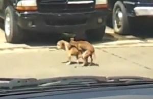 Un perro ya viejo muere durante el apareamiento con una hembra más joven (Foto: captura de vídeo)