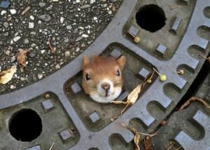 Una ardilla quedó atrapada en el agujero de una alcantarilla en la ciudad alemana de Hannover. (Foto: Cortesía Policía Hannover) -