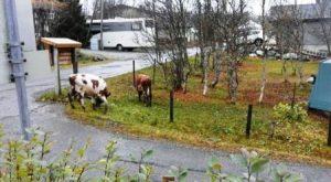 Por el mismo sitio que las vacas lograron subir al tejado, también lograron bajar sin ayuda de nadie. Foto: Cortesía R. Lauritzen
