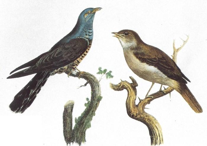 78d. Le Coucou et le Rossignol planche du Cassl's Book of Birds 1875.