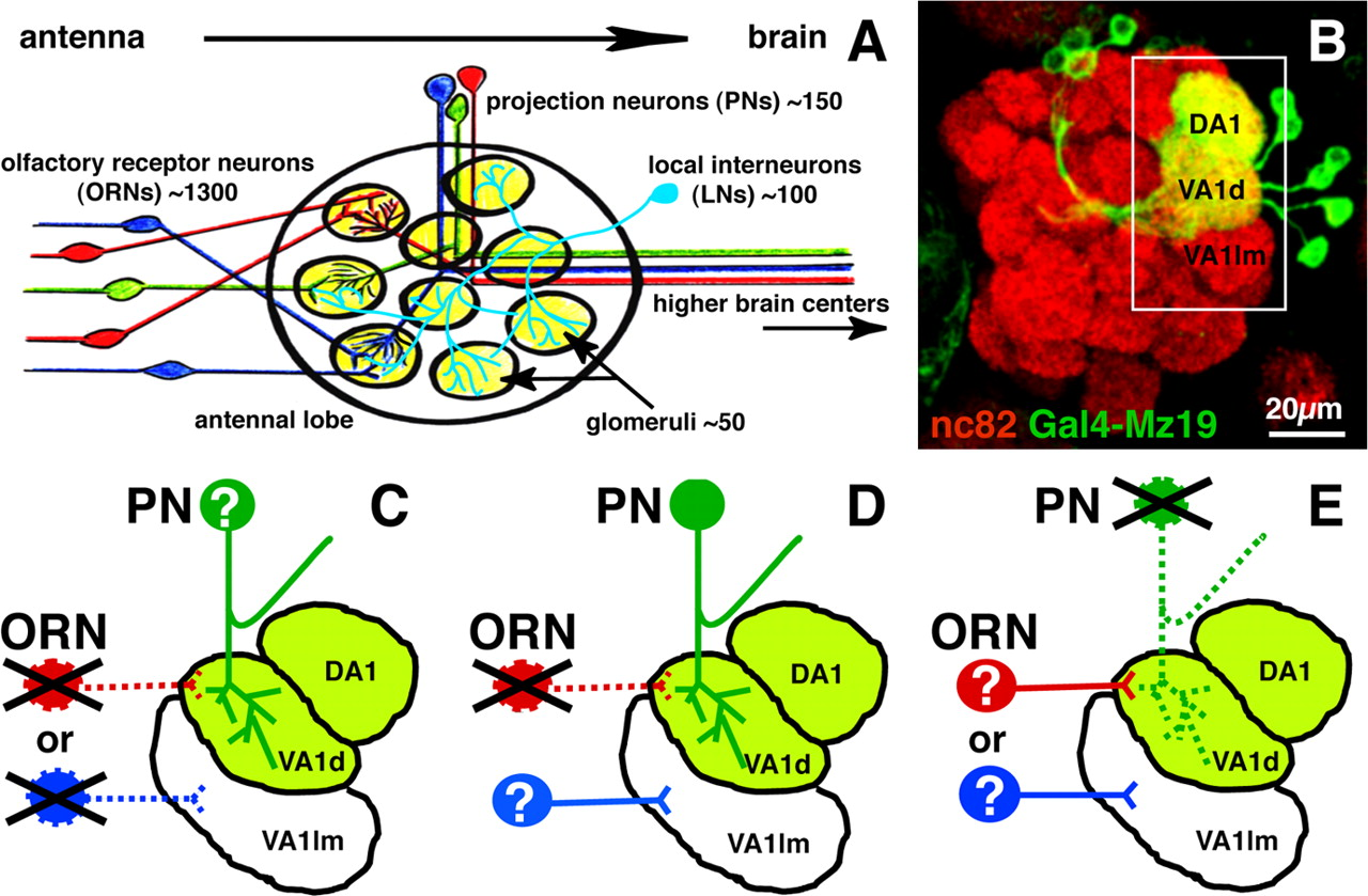 Wiring Stability Of The Adult Drosophila Olfactory Circuit