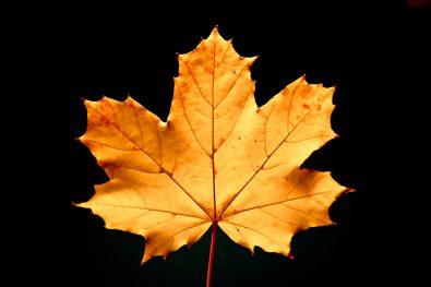 Autumn golden leaf