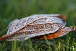 Frozen leaf, Assigny, Normandie, France