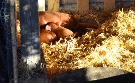Red Wattle babies born October 17th