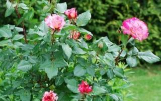 Taille rosiers buissons image 2 | Jo votre jardinier paysagiste à Chevillon, Charny Orée de Puisaye, Yonne (89) | www.jo-votre-jardinier-paysagiste.fr