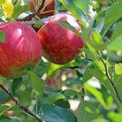 Plantation, taille d'arbres fruitiers   Jo votre jardinier paysagiste à Chevillon, Charny Orée de Puisaye, Yonne (89)   www.jo-votre-jardinier-paysagiste.fr