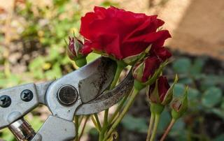 Taille rosiers buissons image 1 | Jo votre jardinier paysagiste à Chevillon, Charny Orée de Puisaye, Yonne (89) | www.jo-votre-jardinier-paysagiste.fr