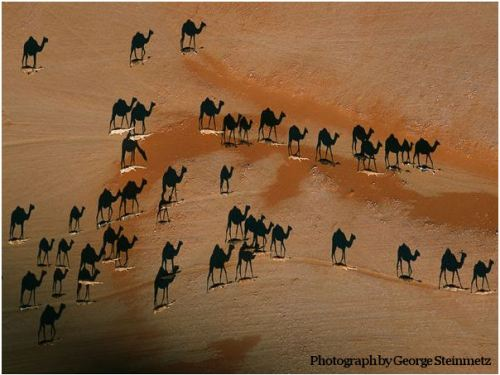 Photo of camels in the desert at sunset taken by George Steinmetz