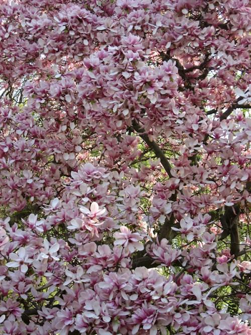 Magnolia tree in bloom, photo taken by Joana Miranda