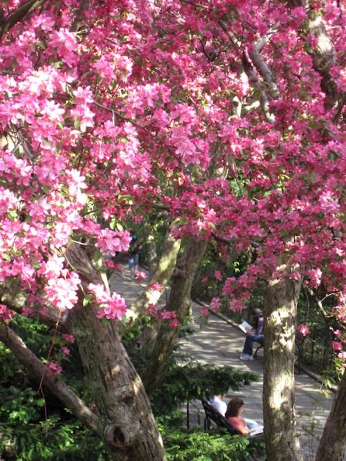 Photo of cherry tree-lined pathway at Conservatory Garden taken by Joana Miranda