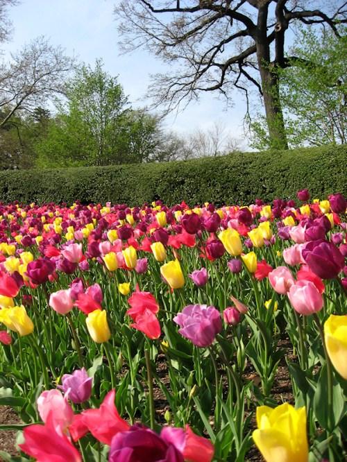 Photo of multi-colored tulips and hedge, taken by Joana Miranda