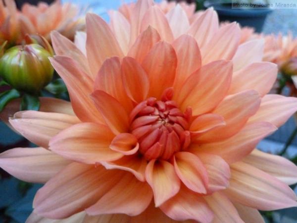 Photo of pink daisy, taken by Joana Miranda