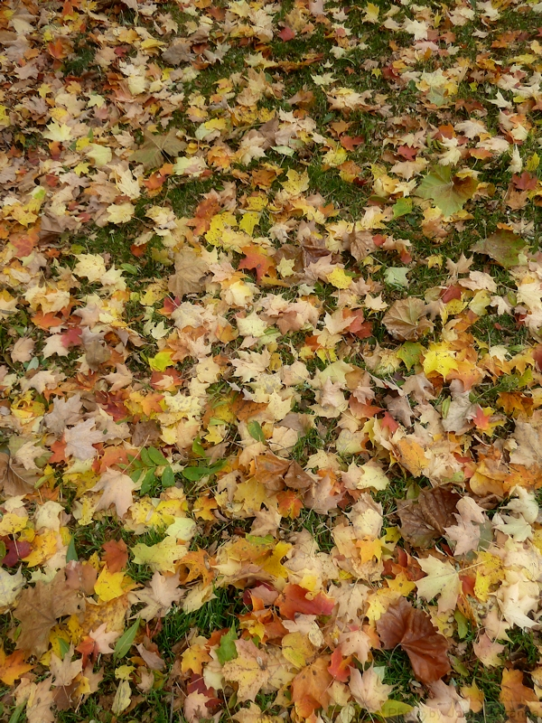 Photo of a carpet of yellow leaves taken by Joana Miranda
