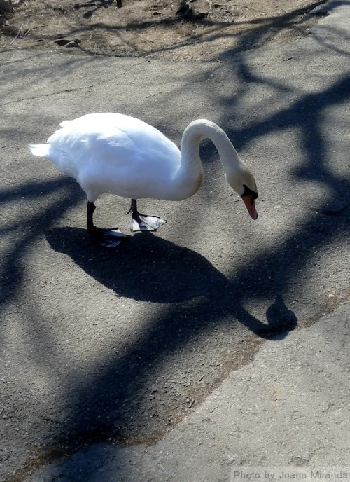 Swan and his reflection