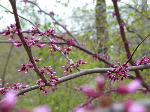 cherry blossoms emerging