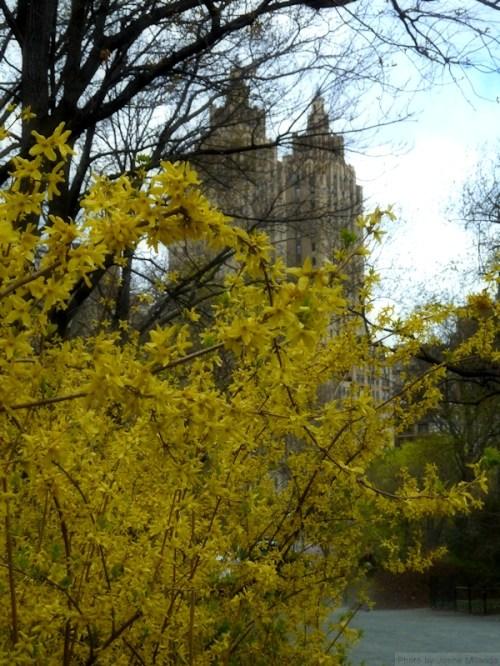 Forsythia bushes in Central Park