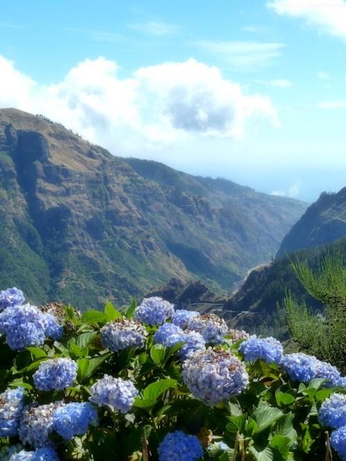 hydrangea in Madeira