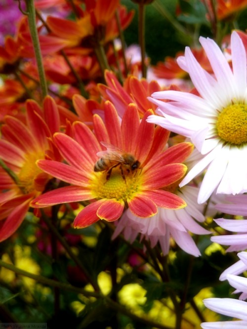 mums with bumble bee