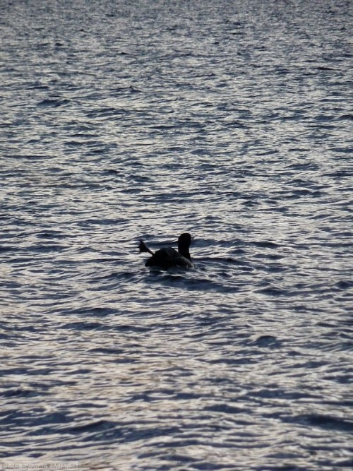 Loon kicking out its leg