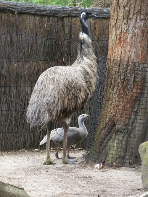 Emu and friend