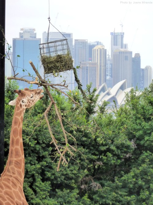 Giraffe with view to the Sydney Opera House