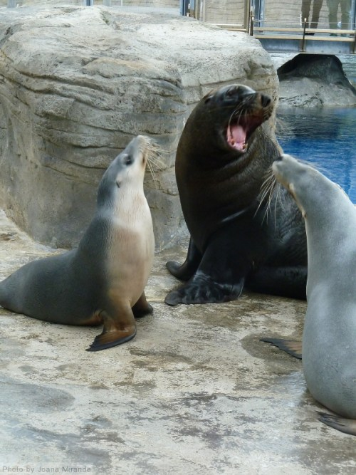 two seals and a fur seal