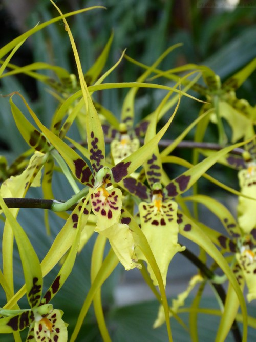 spidery orchids