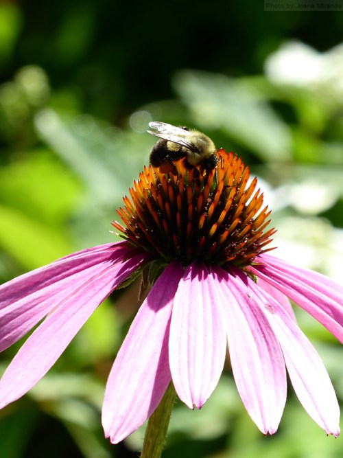bees on the daisies