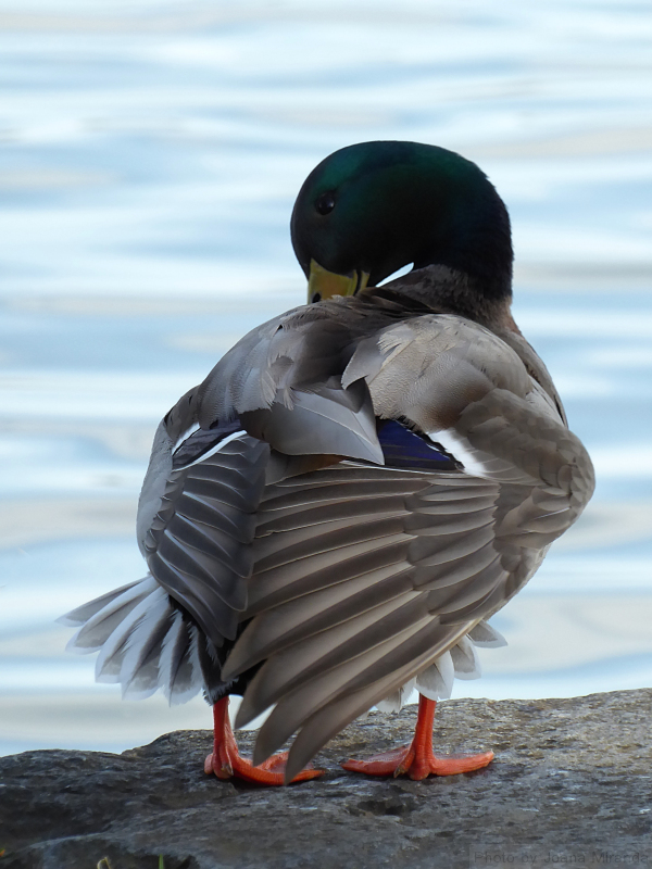 Duck preening at Tidal Basin