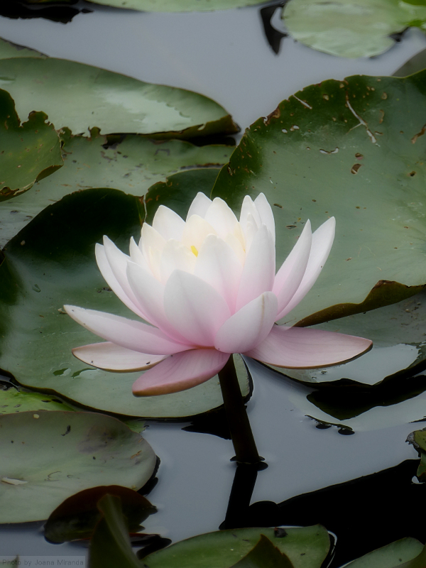 Photo of pink lotus by Joana Miranda