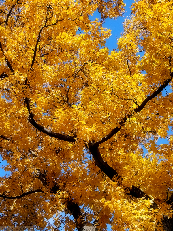Yellow leaves against a blue sky.jpg