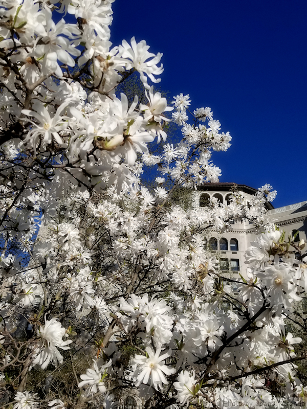 Blooming tree with white flowers at the Conservatory Garden in spring 2019, photo by Joana Miranda