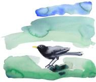 watercolour of a blackbird on the grass